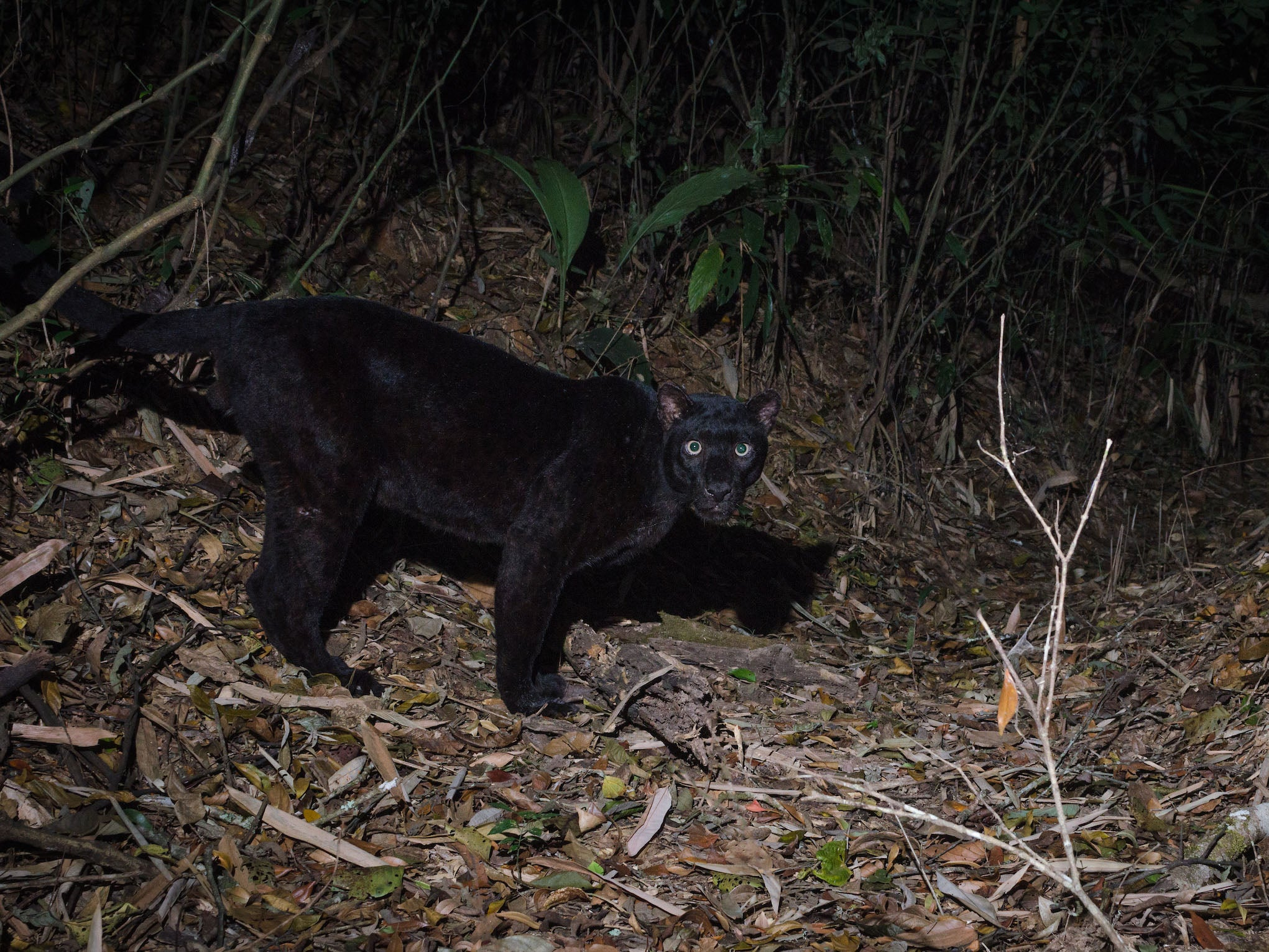 Thai company boss 'caught poaching black panther' plans to