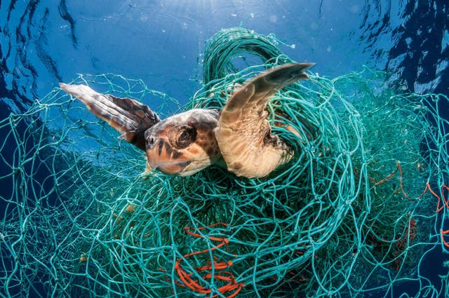 A loggerhead turtle trapped in an abandoned drift net in the Mediterranean Sea