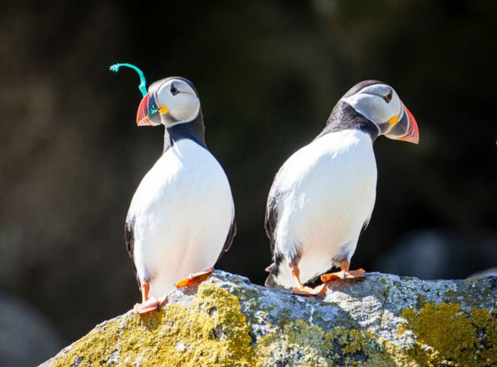 Puffins from the Shiant Isles, where the waters were found to contain microplastics