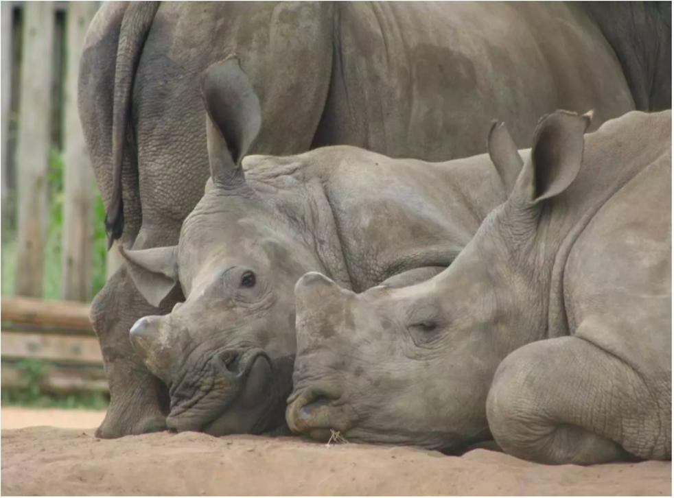 A group of orphaned white rhino calves doze in the shade. Tony Carnie