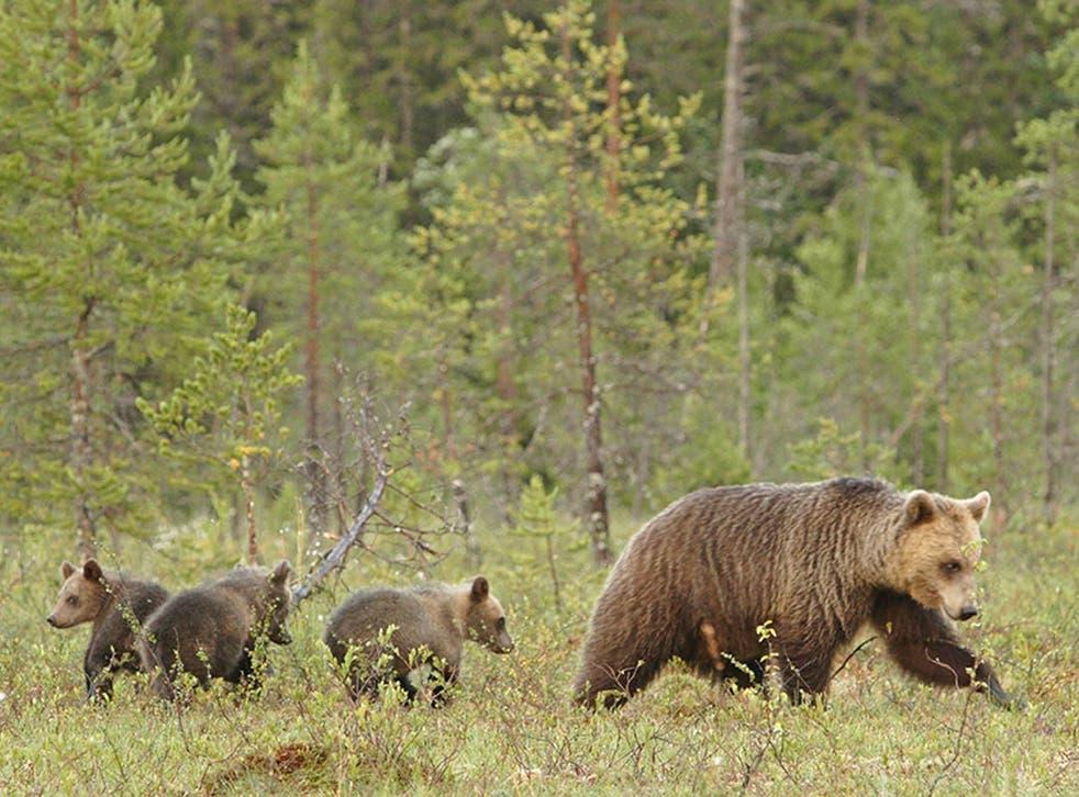 A family of Scandinavian brown bears