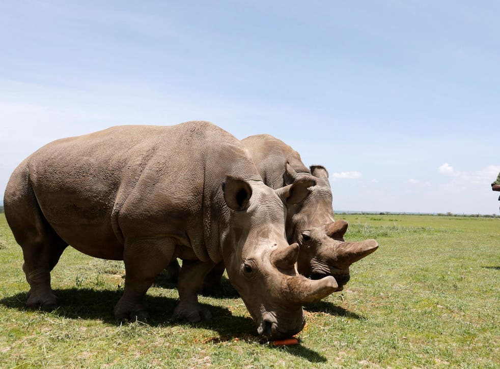 Najin and her daughter Fatou, the last two northern white rhino females, graze near their enclosure at the Ol Pejeta Conservancy in Laikipia National Park, Kenya