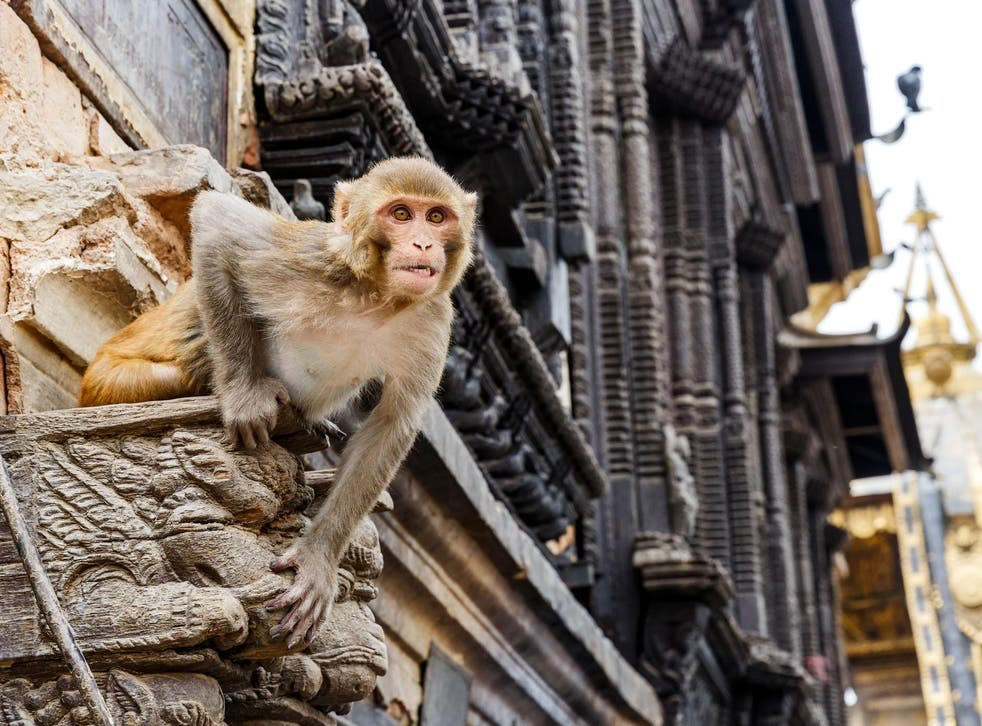 A Rhesus monkey has been identified as the likely species that attacked the baby