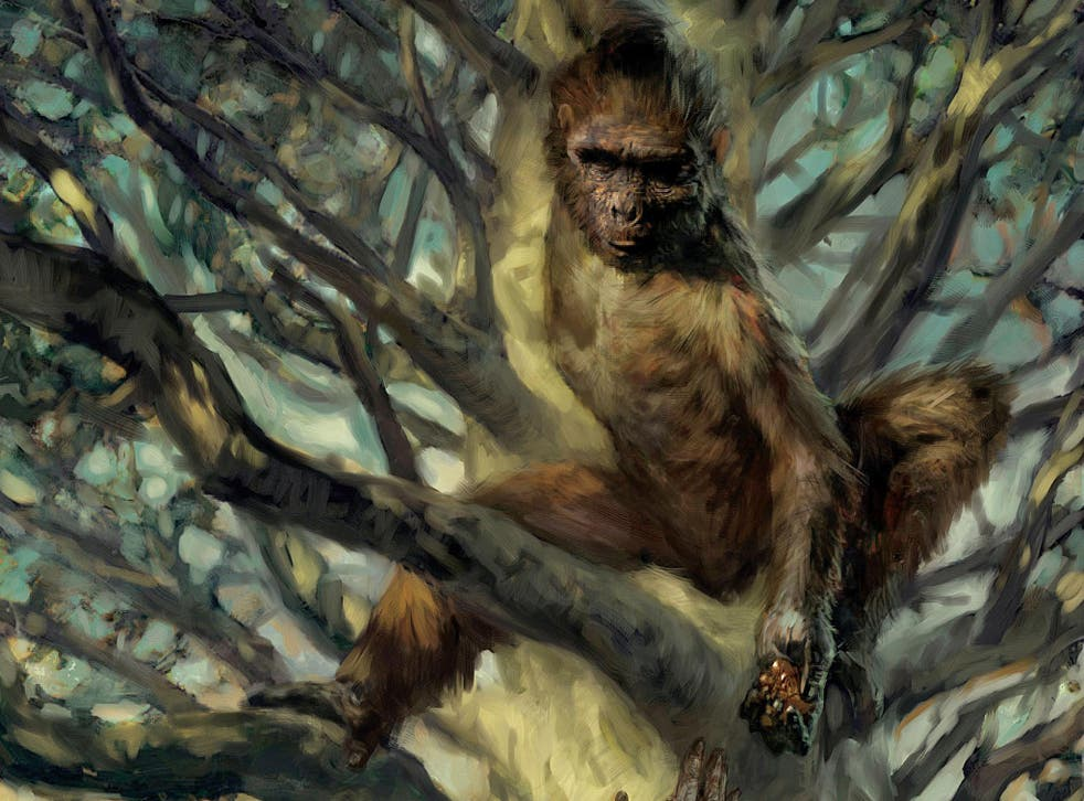Analysis of the ancient human relative Ardipithecus has revealed despite its tree-climbing lifestyle it was able to walk like a human