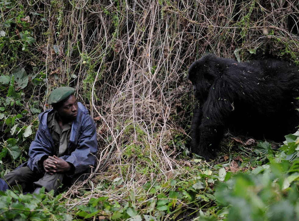 A park ranger in Virunga National Park is observed by a young male gorilla