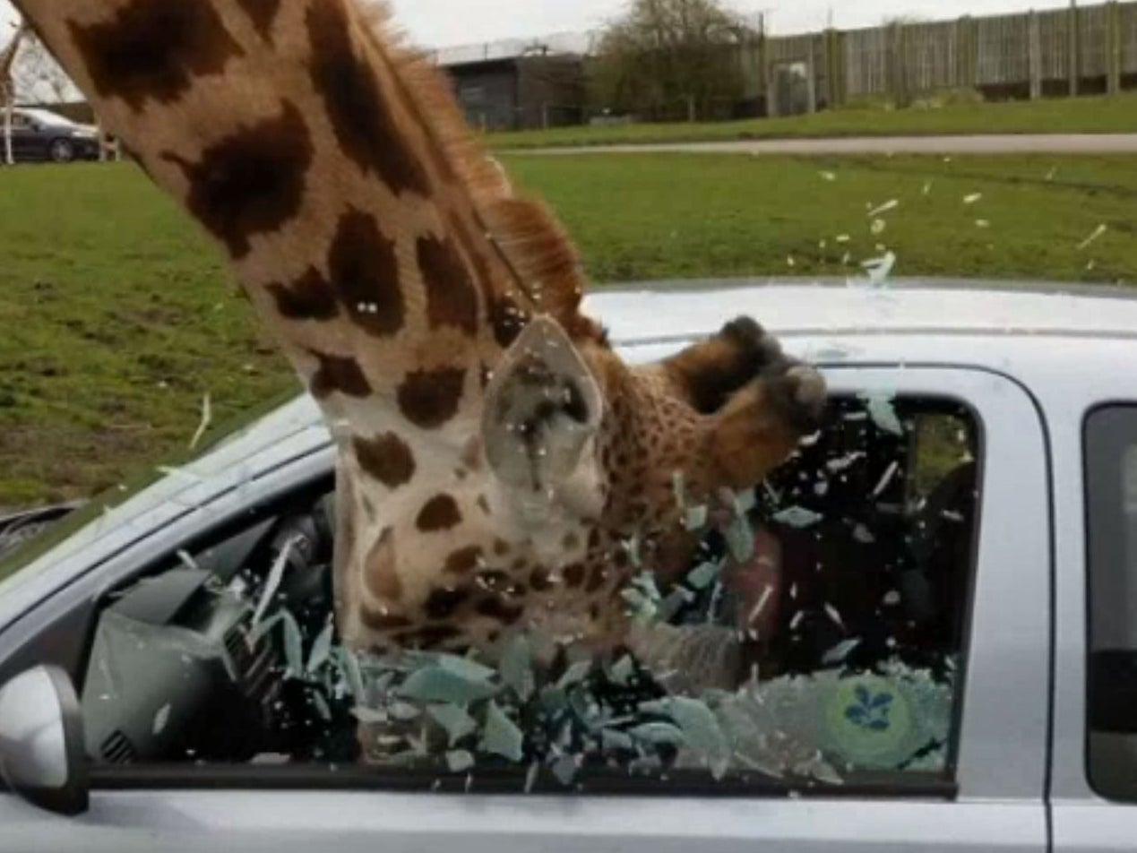 Car Window Smashes On Giraffes Head At Safari Park The Independent