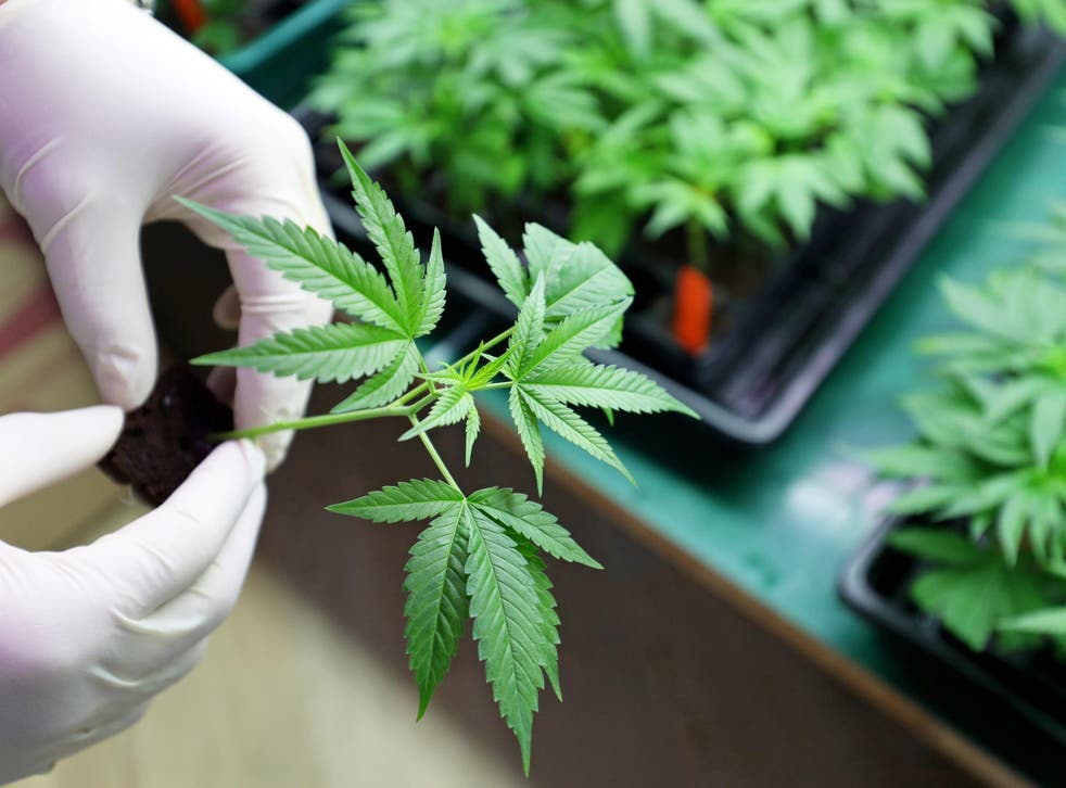 The plant has been shown to have a variety of medicinal benefits