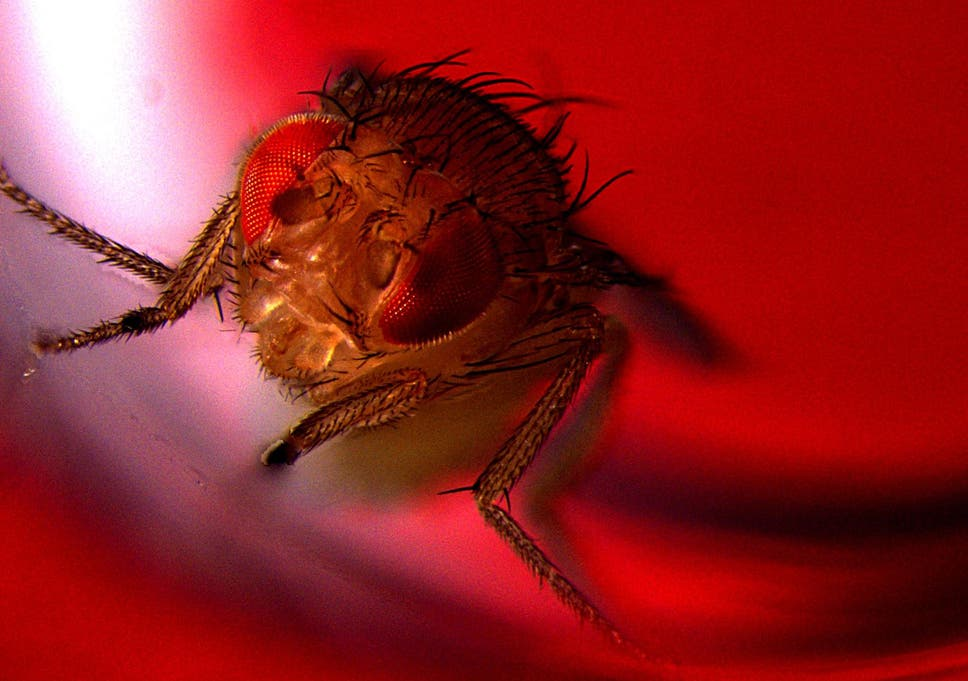Flies enjoy having sex and will resort to alcohol if they can't get it,  scientists find