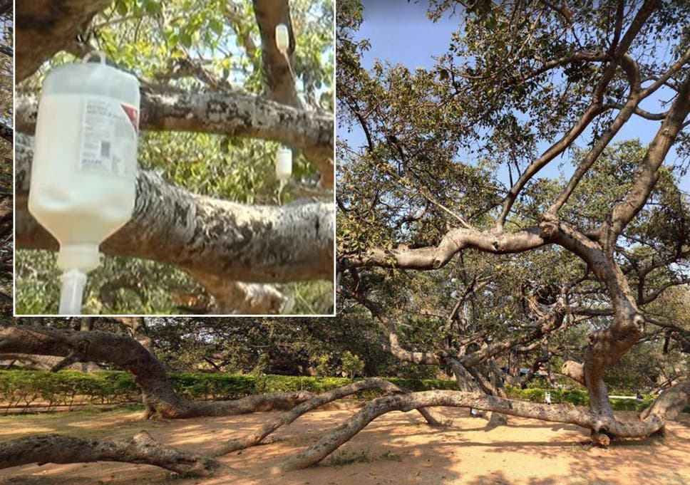 Dying 700-year-old tree put on insecticide drip in final attempt ...
