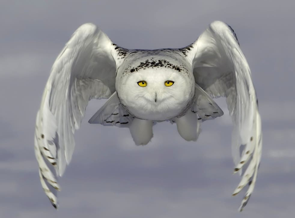 A snowy owl pictured flying just above the ground in Ontario, Canada