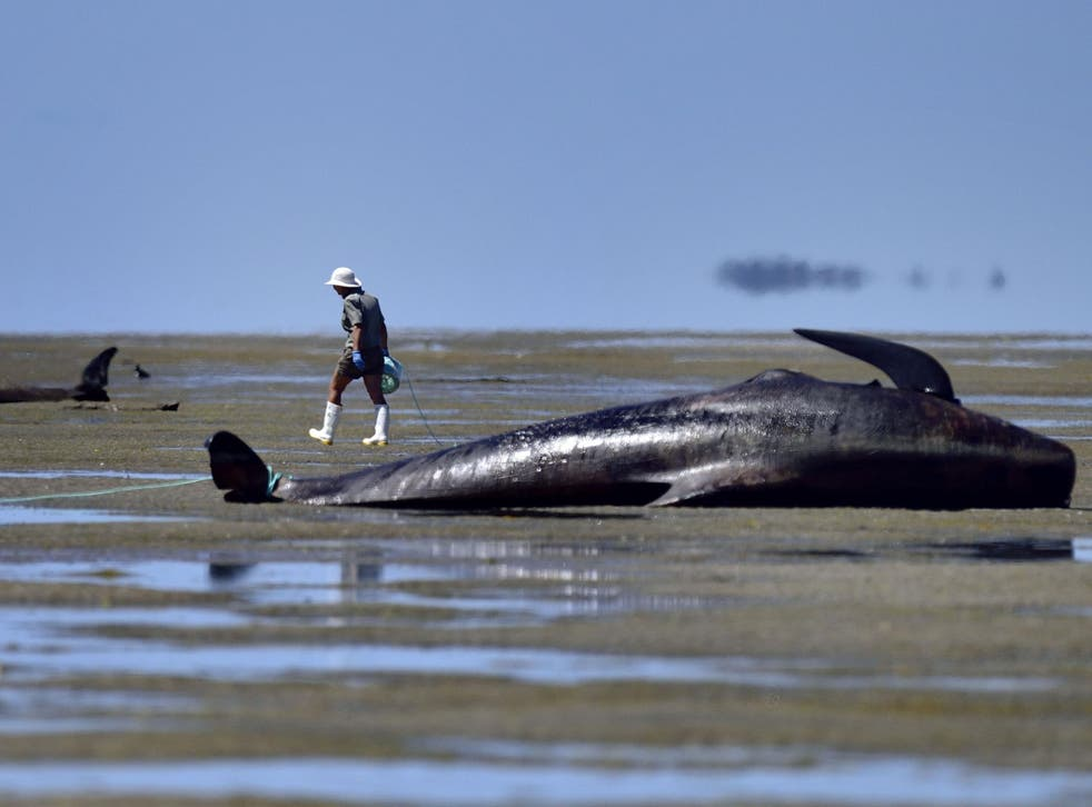 Whale standings have been linked to rare occasions on which these marine mammals have suffered from the bends