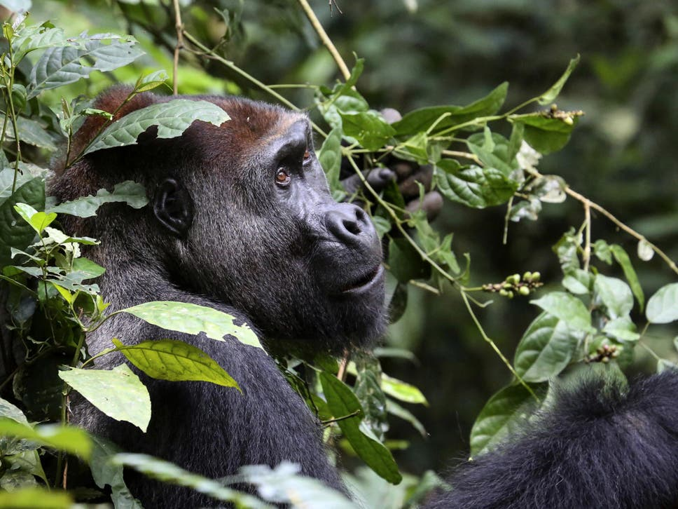 third more wild gorillas than previously thought major study finds