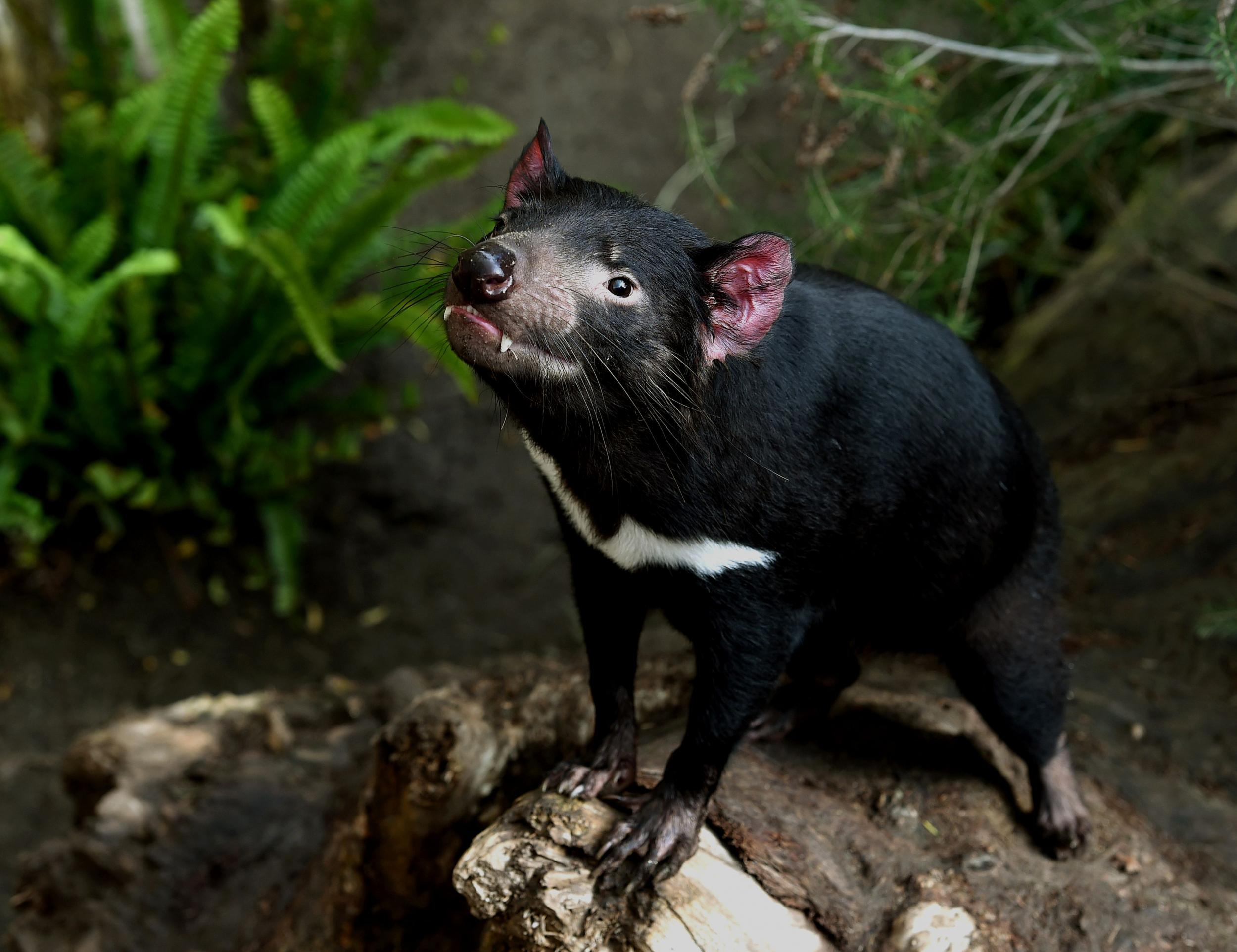 healthy tasmanian devils found in major breakthrough for mission to