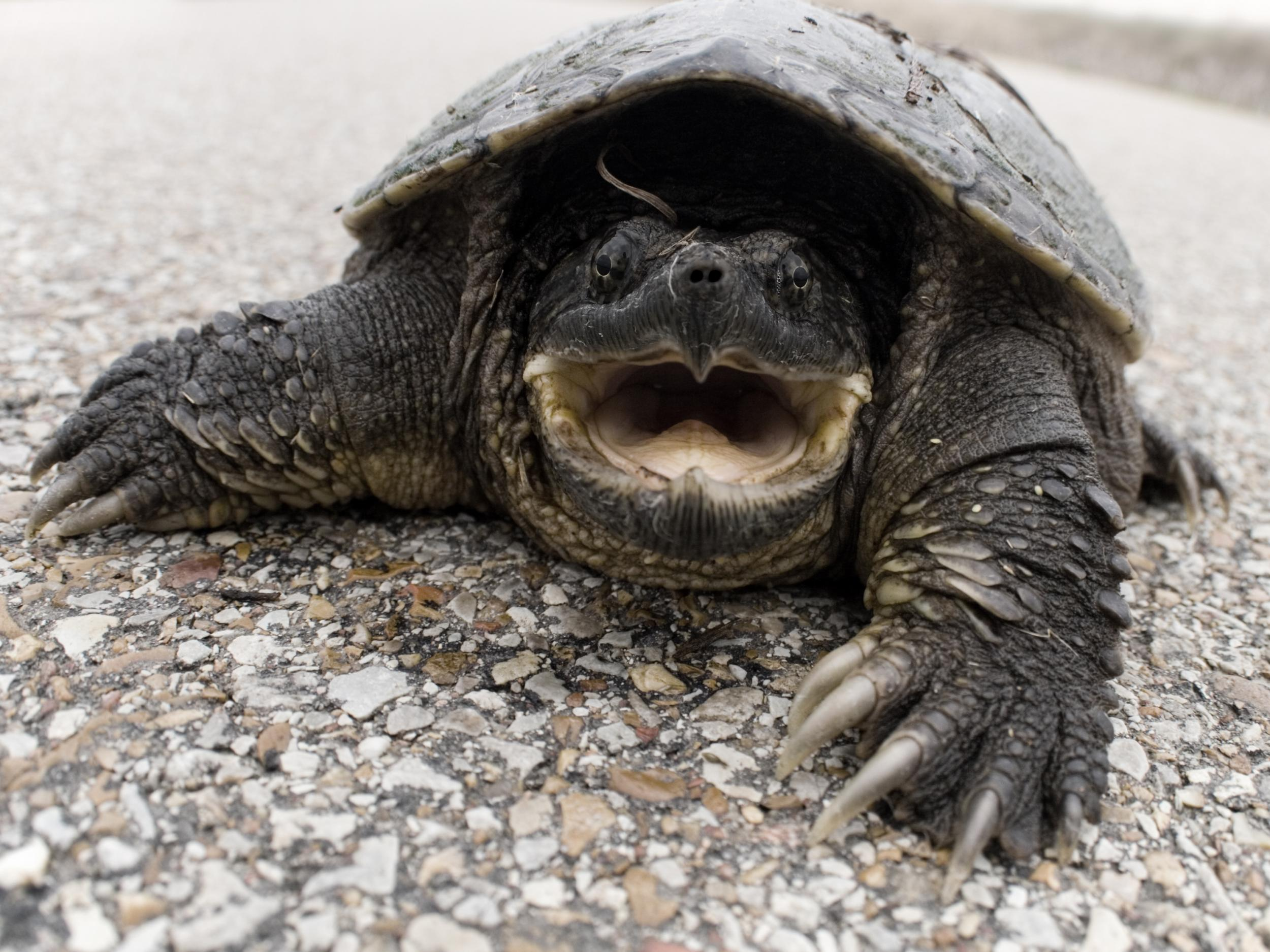 Mercury pollution causing more snapping turtles to be born male than…