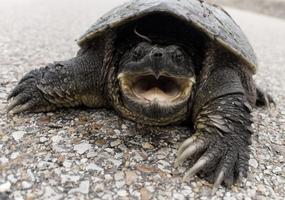 How do you tell the sex of a snapping turtle