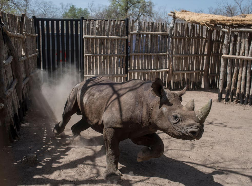 A newly arrived black rhino runs around in a holding pen in Chad's Zakouma National Park