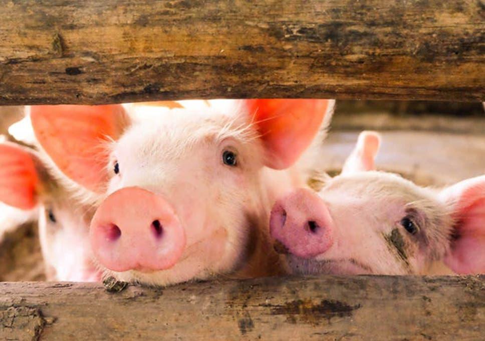 Animal Welfare Activists Appalled As Slaughterhouses Fail