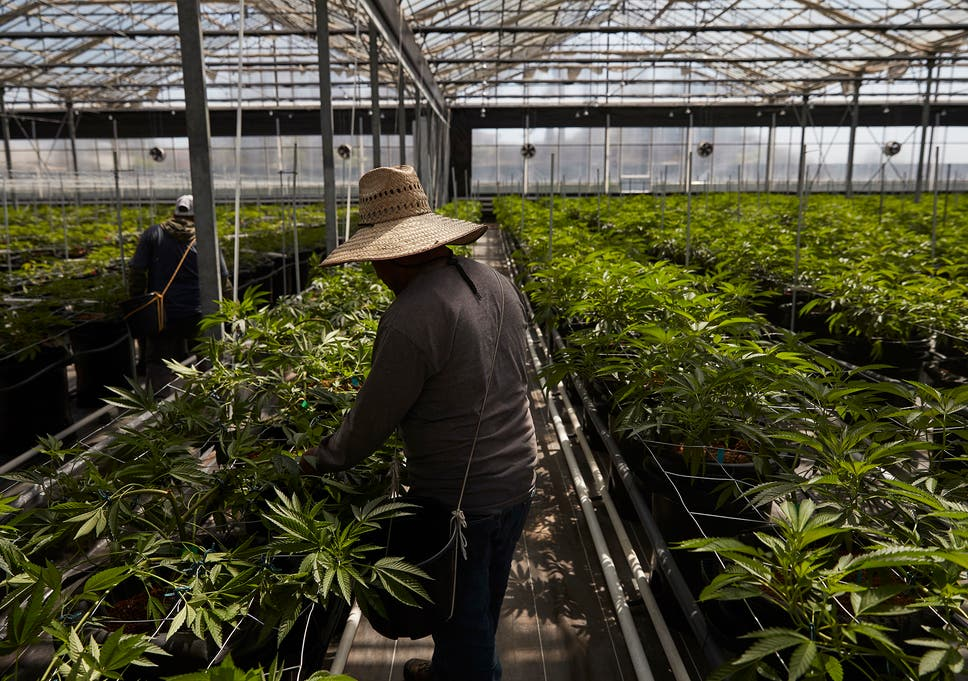 Workers in a greenhouse growing cannabis plants in Carpinteria