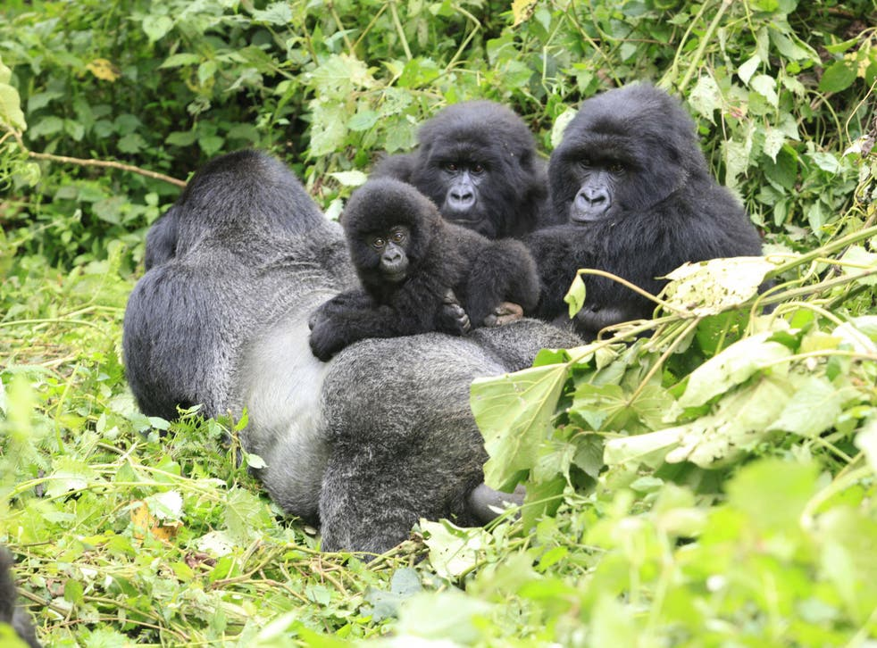 A band of mountain gorillas rest in a clearing in Virunga national park in the Democratic Republic of Congo