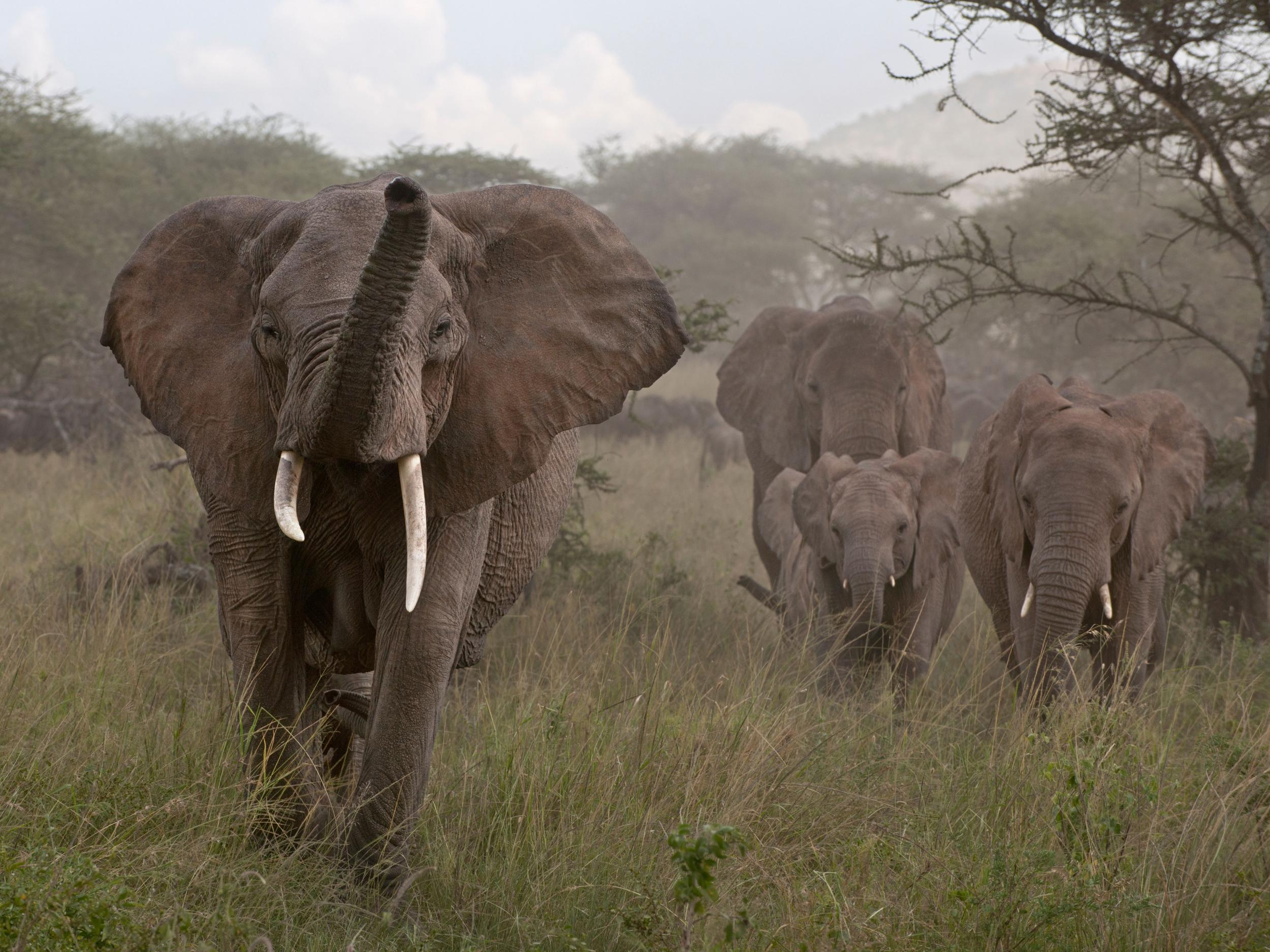 89acf89ae48099 Illegal ivory trade across Europe is driving elephants to extinction ...