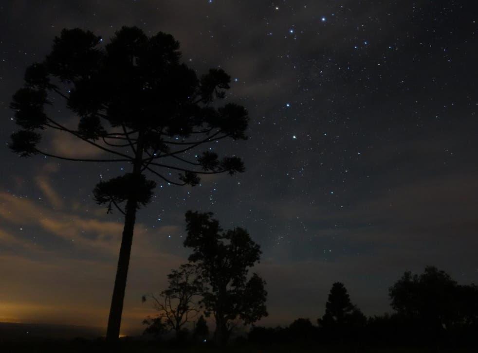 Monkey puzzle tree at night