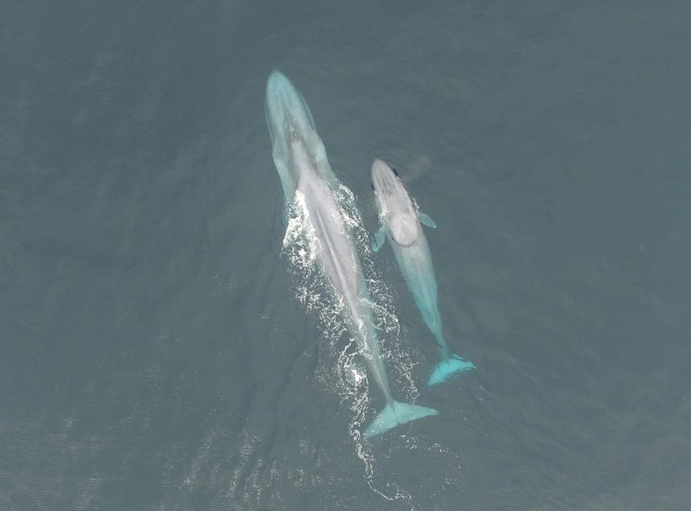 Blue whales are the largest animals ever to have lived on Earth
