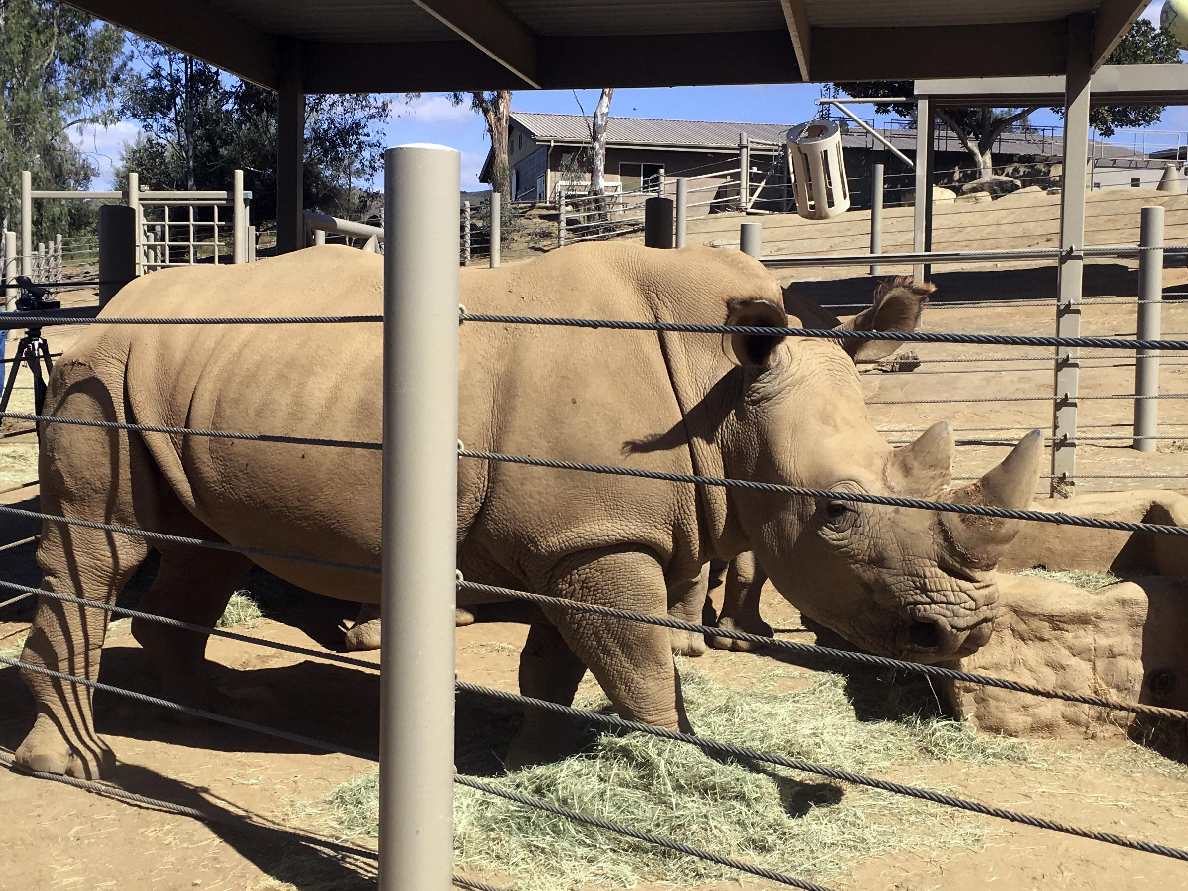 Pregnant rhino could bring related subspecies back from