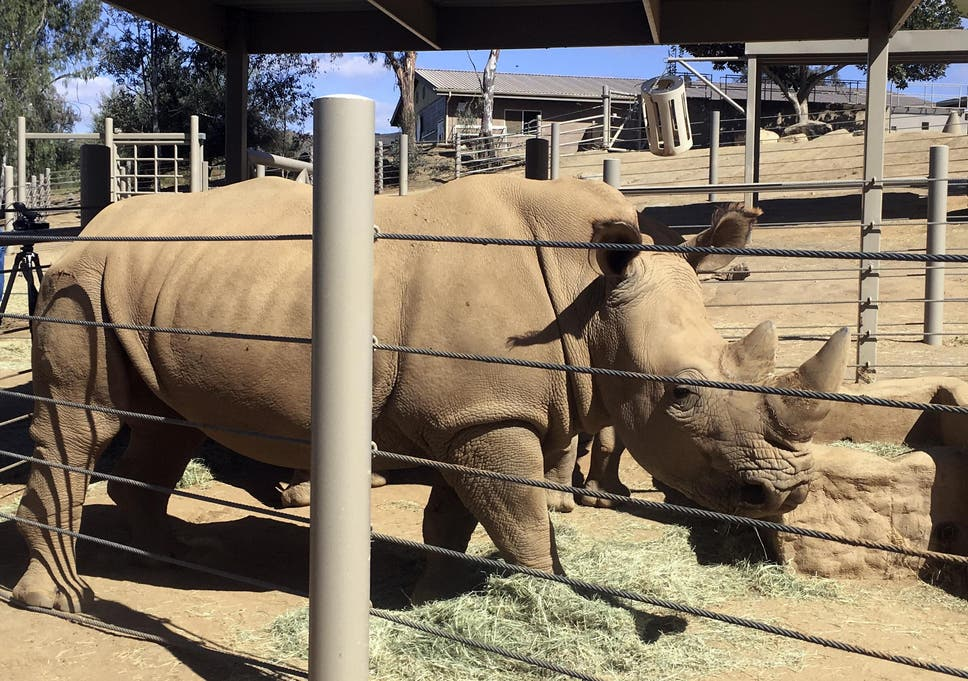 Pregnant Rhino Could Bring Related Subspecies Back From Brink Of