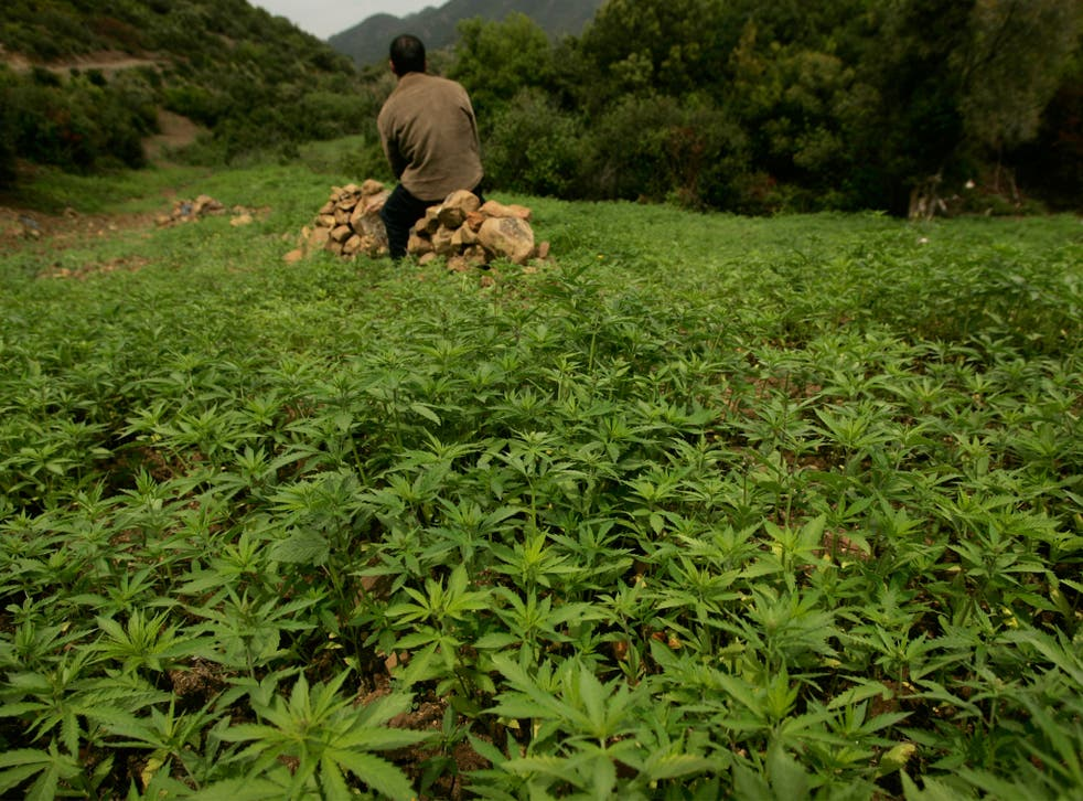 Cannabis is likely to have once grown wild across Europe