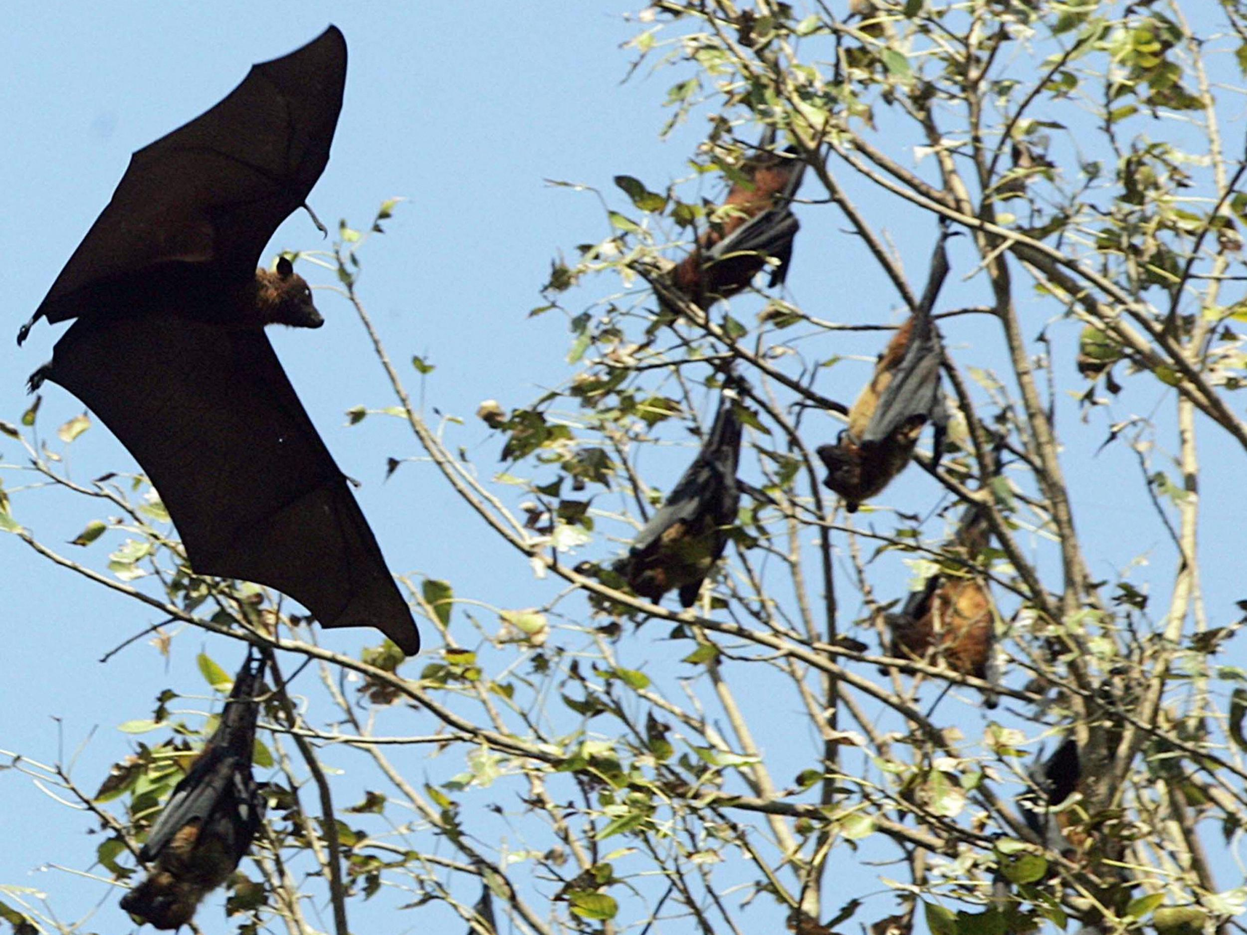 Nipah virus: What is the tropical disease killing patients in India and is there a vaccine?