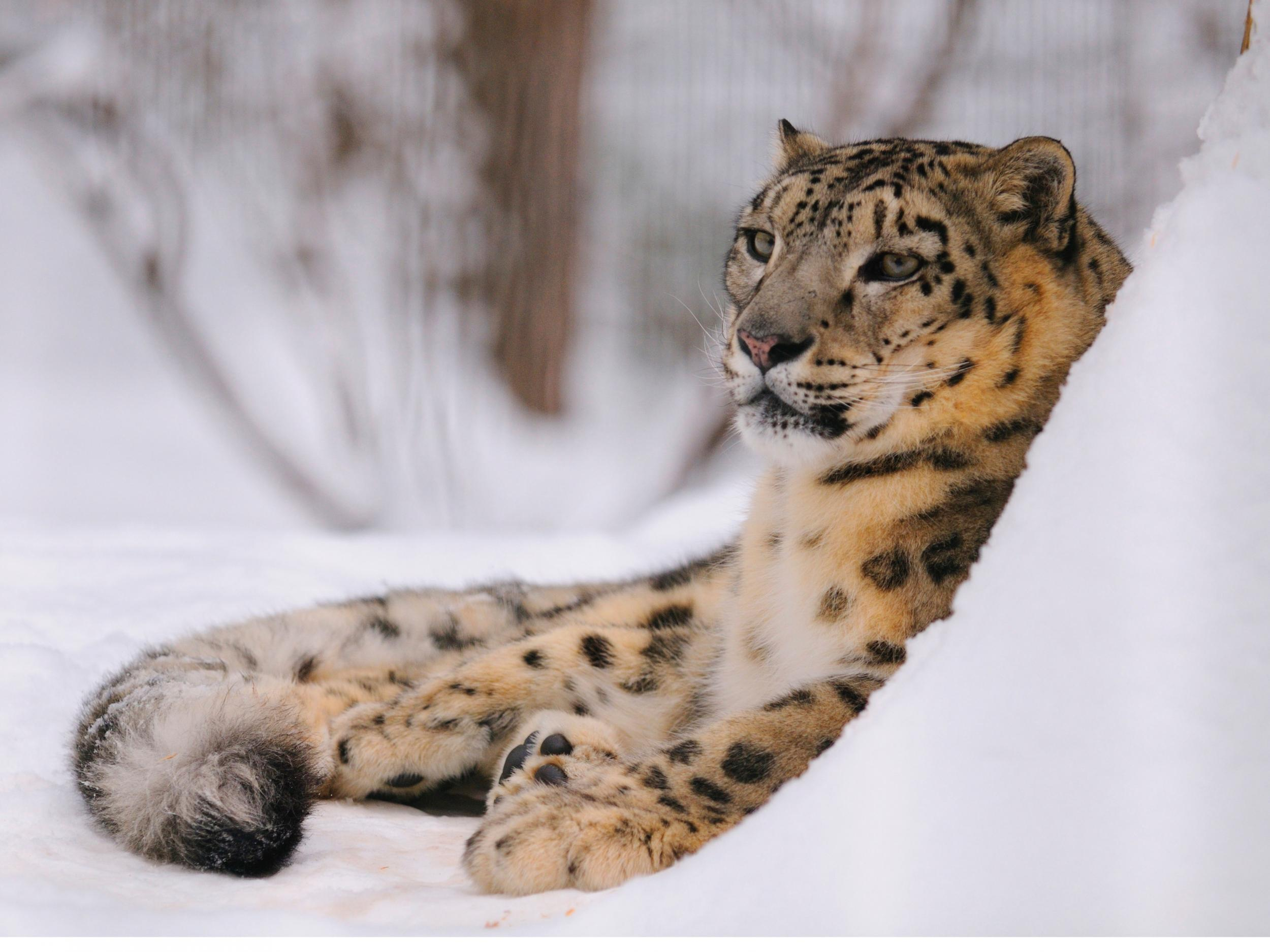 The big cats' decline is understated making numbers of snow