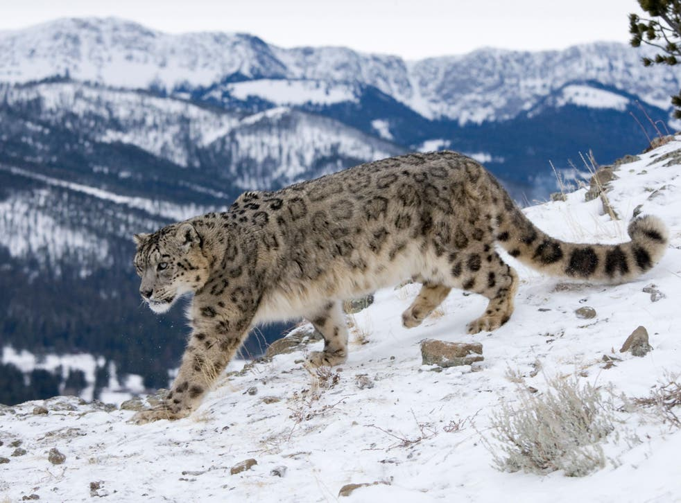Snow leopards have the longest and thickest fur of any big cat, and a long, thick tail that they can wrap around themselves to stay warm