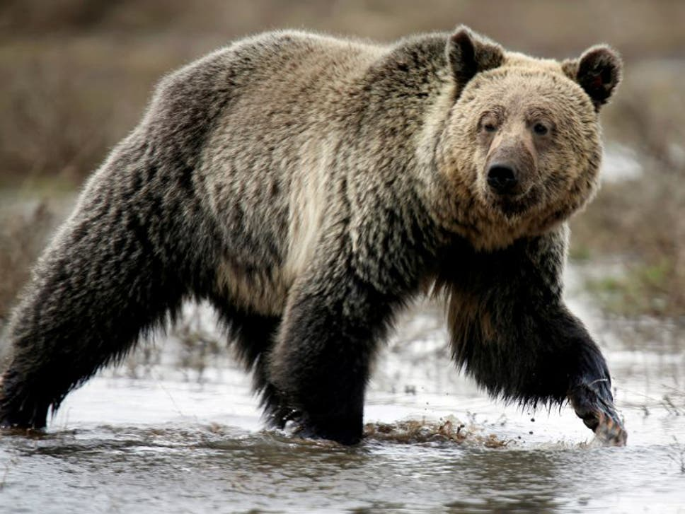 Trump to repeal obama era rule banning inhumane hunting techniques the proposal to scrap the 2015 restrictions would give alaskan state wildlife managers the discretion to fandeluxe Images
