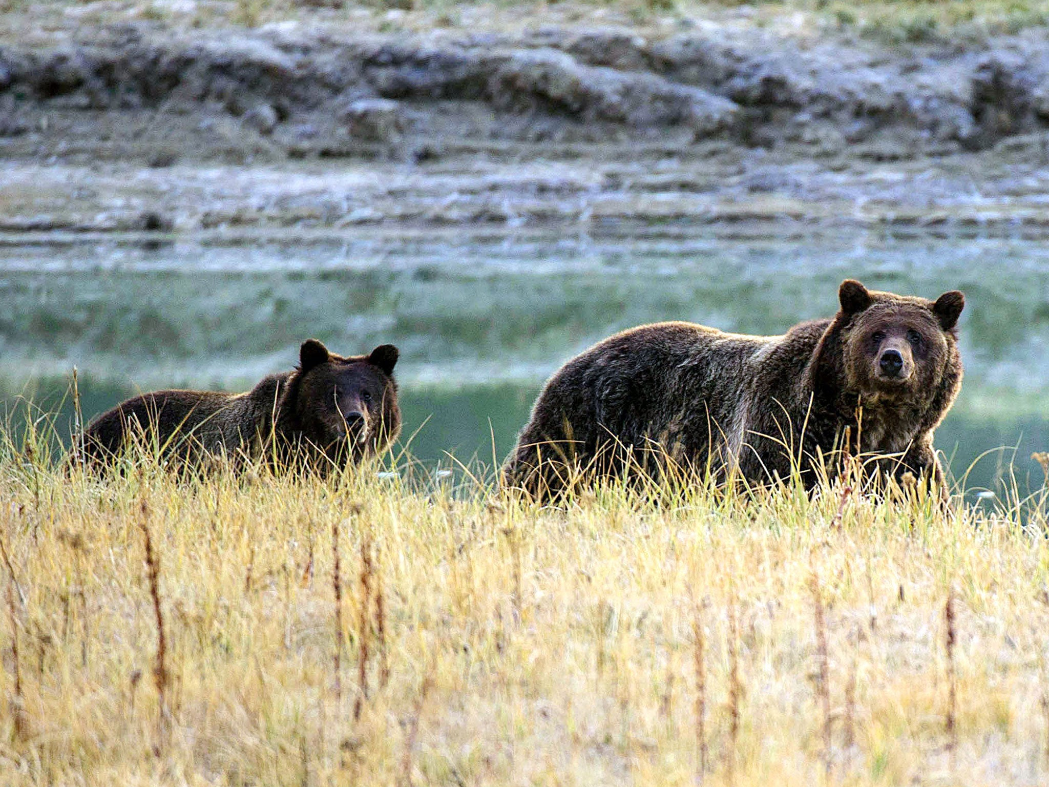 Grizzly bear hunting starts again in Wyoming for first time in 43 years after Trump administration decides they're not threatened there anymore