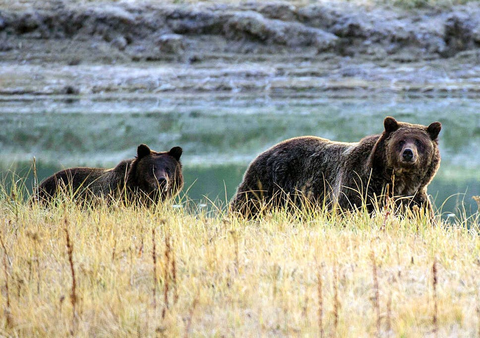 Grizzly bear approved in US state for first time in 43 years after on