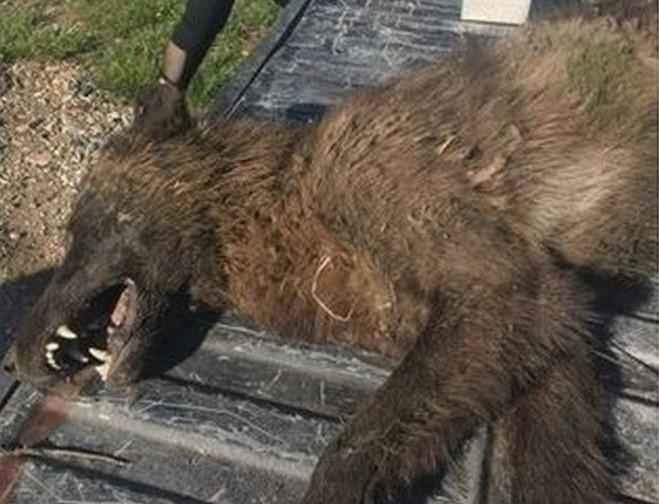 Mystery wolf-like creature shot in US baffles experts: 'We