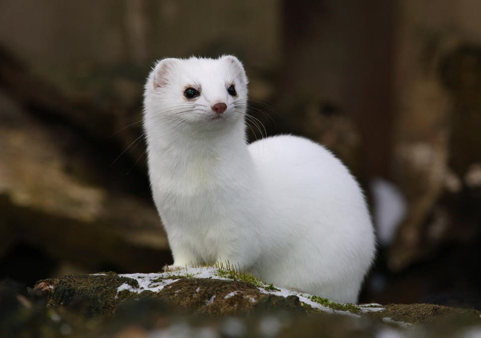 climate change has left some weasels with mismatched camouflage