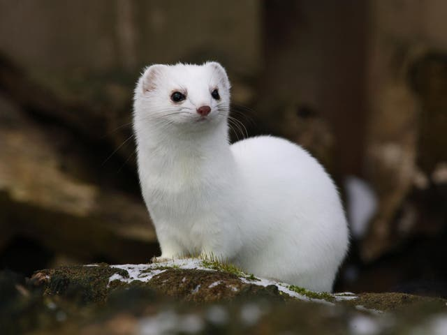 In Białowieża forest, two subspecies of weasel, one that wears white in winter and one that does not, compete for similar resources
