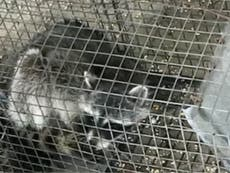Teacher who drowned wild raccoon will not be charged with crime