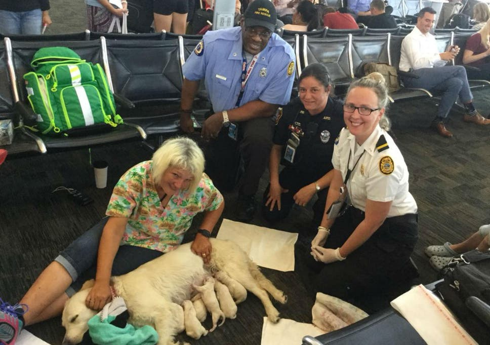 service dog gives birth to eight airport puppies in tampa florida