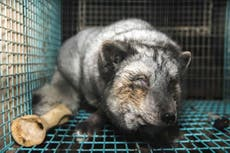 71594085ab0 Caged animals resort to cannibalism on 'high welfare' fur farms ...
