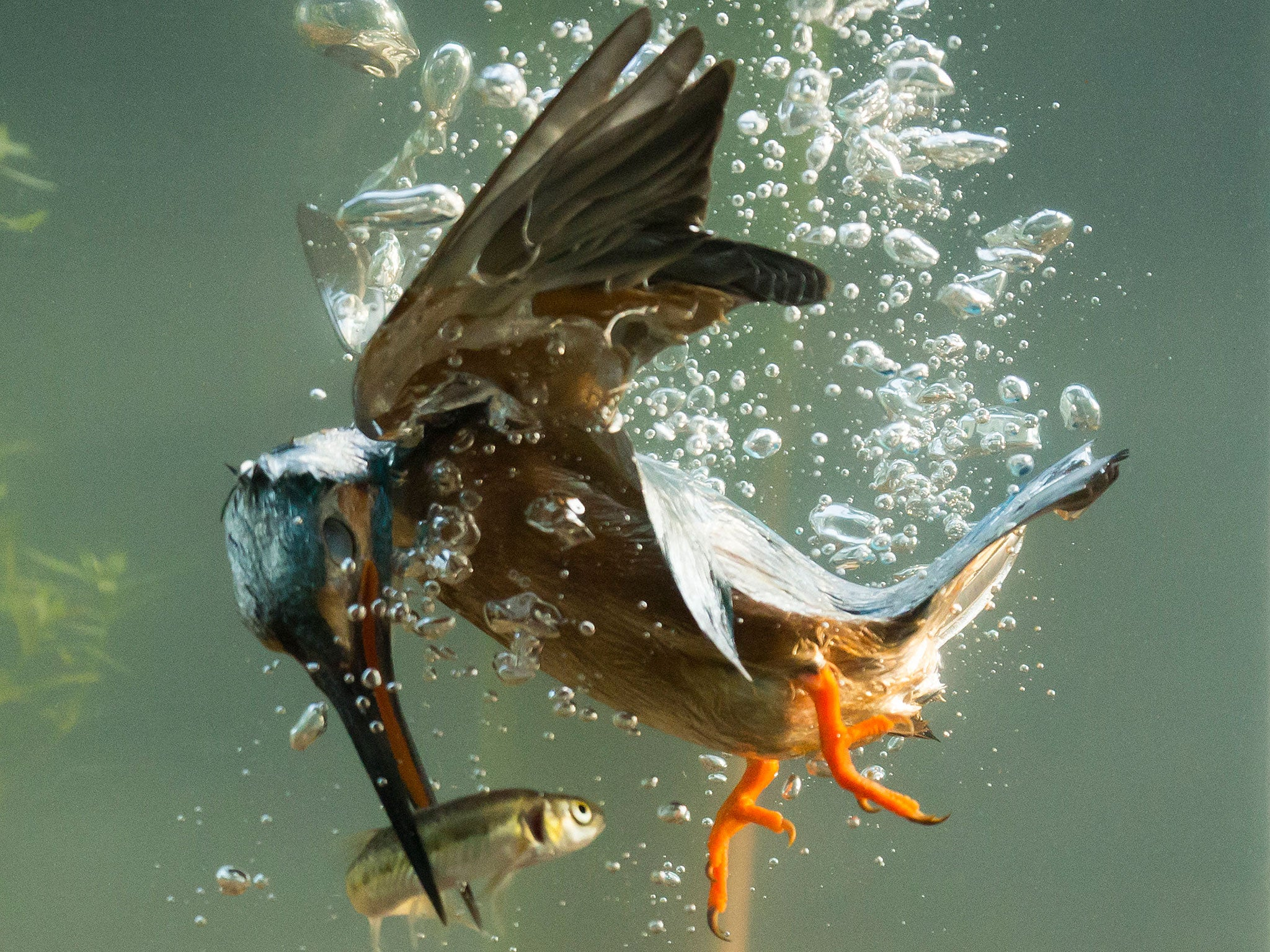 Kingfisher Captured Catching Fish At Bottom Of River In New Photographs The Independent The Independent
