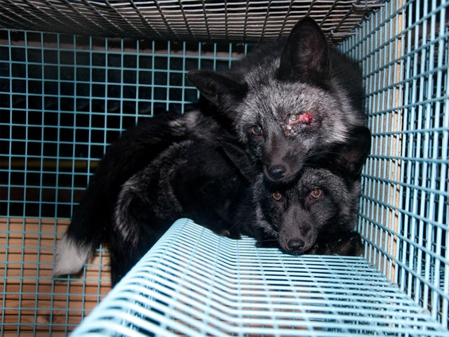 Norwegian fur farm