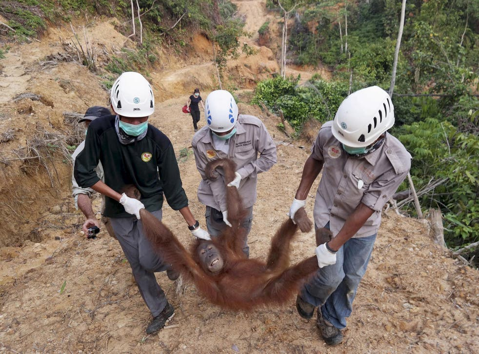 Conservationists rescue a female orangutan found isolated in a palm-oil plantation in North Sumatra, Indonesia
