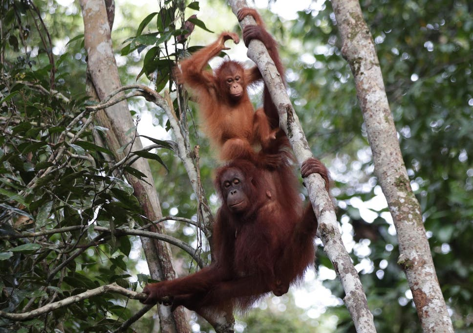 Image of: Orang Utan Orangutans Have Been Adapting To Humans For 70000 Years This Is What It Means For Conservation The Independent Orangutans Have Been Adapting To Humans For 70000 Years This Is