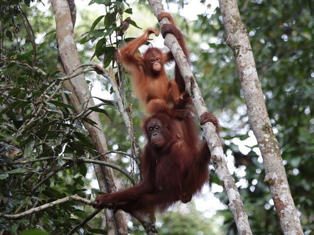 Orangutans have few predators apart from humans