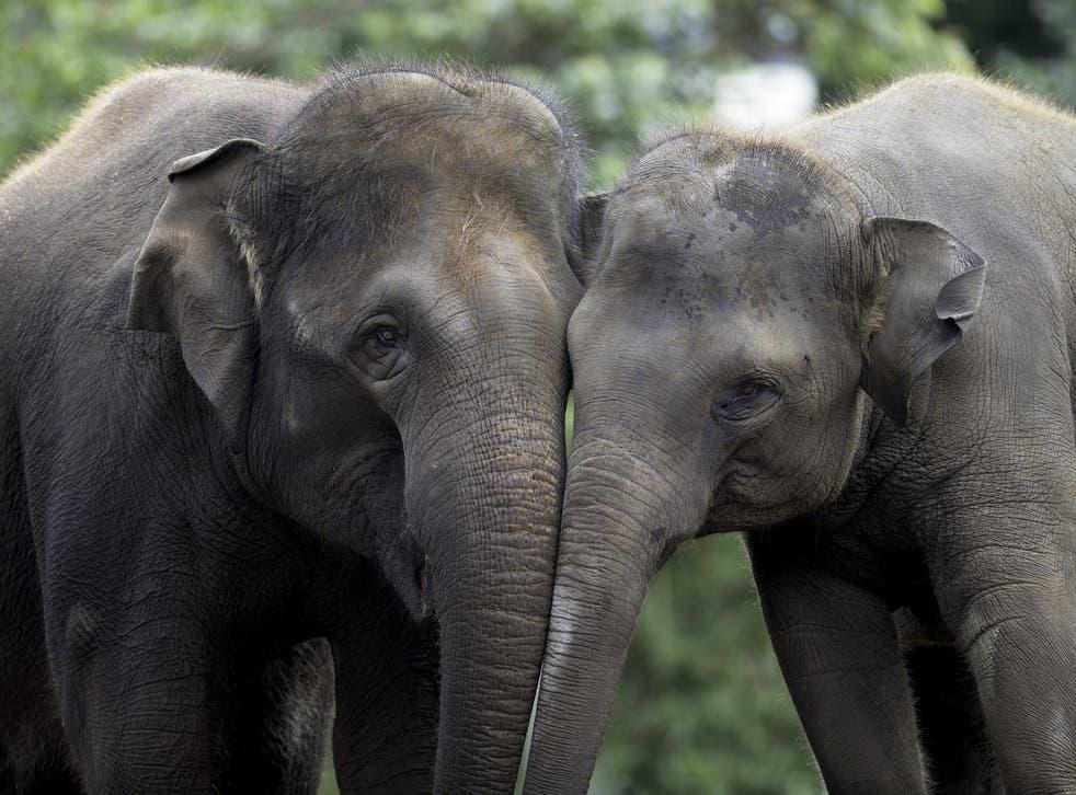 Elephants have conversations using low rumbling noises