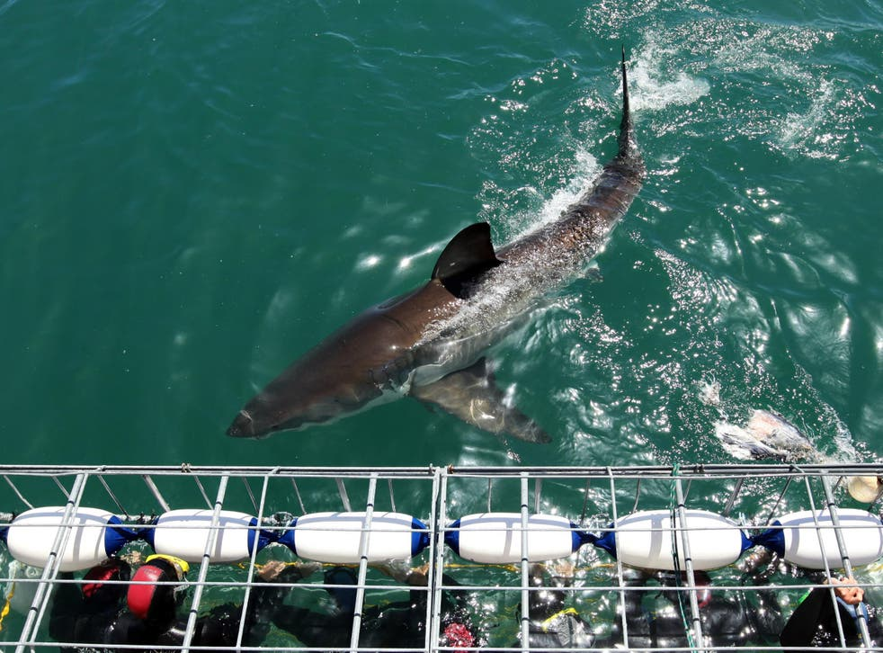 Divers being lowered into the sea with a great white shark in South Africa