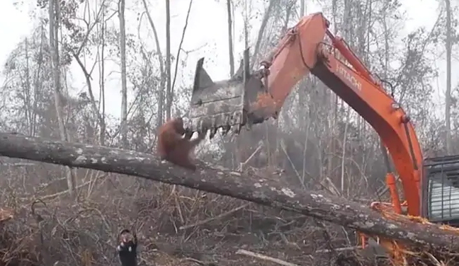 Orangutan filmed trying to fight off digger destroying its jungle home