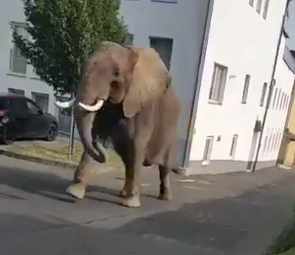 Elephant escapes circus and wanders around German town